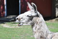 Llama llama a cute white is posing with its open mouth Stock Images