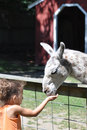 Llama llama a little girl is feeding a white in a farm Royalty Free Stock Image