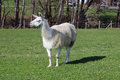 Llama llamas are held in germany as very much popular and humble domestic animals Royalty Free Stock Photo