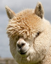 Llama with long hair and hiding eyes Stock Photo