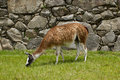 Llama at machu picchu cuzco peru a resident grazing on the terrace with inca stone wall in background Royalty Free Stock Photos