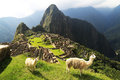 Llama at machu picchu peru in Royalty Free Stock Images