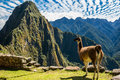Llama machu picchu ruins peruvian andes cuzco peru at incas in the at Royalty Free Stock Photos
