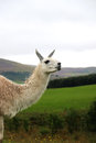 Llama a nibbling on the grass in an open field Stock Photos