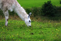 Llama a nibbling on the grass in an open field Royalty Free Stock Photography