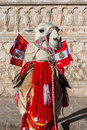 Llama with peruvian flags arequipa peru in the andes at Stock Photography