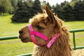 Llama with a pink bridle cute bright Royalty Free Stock Photo