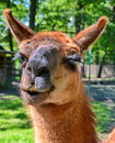 Llama portrait closeup of a head in zoo Royalty Free Stock Photography