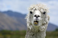 Llama portrait of a white lama in lamas farm Stock Photography