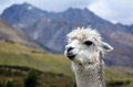 Llama portrait of a white lama in lamas farm Royalty Free Stock Photo