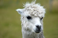 Llama portrait of a white lama in lamas farm Royalty Free Stock Image