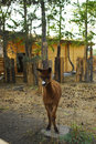 Llama posing in zoo near constanta romania Stock Photography