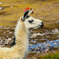 Llama profile white with red ear tassels from right side Stock Images