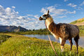 Llama in the Rocky Mountains Royalty Free Stock Photography