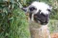 Llama s face with curious eyes looking at camera Stock Photo