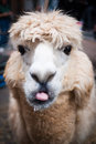 Llama sticking out its tongue Stock Photography