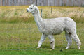 Llama white lama walks on lamas farm Stock Photography