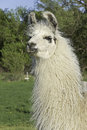 Llama white a perceptive is held by his owner as guard of sheep and goats against larger predators such as coyotes and wolves Royalty Free Stock Photos