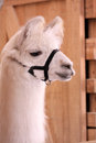 This is a llama at the zoo Stock Photo