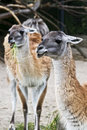 Llamas Royalty Free Stock Image