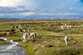 Llamas and alpacas peru graze in the mountains near arequipa Royalty Free Stock Photography