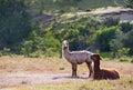 Llamas domestic patagonia region chile Royalty Free Stock Photo
