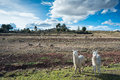 Llamas are front of terraced inca fields and ruins village in the andes puno peru south america Royalty Free Stock Photo