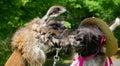 Llamas Kissing Royalty Free Stock Photo