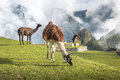 Llamas at Machu Picchu Inca Ruins - Sacred Valley, Peru Royalty Free Stock Photo