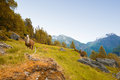 Llamas in the mountains scenic spots nature beautiful scenery of europe Stock Photography