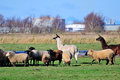 Llamas and sheep in the pasture delta bc Stock Image