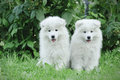 Llittle Samoyed  puppies portrait Royalty Free Stock Photography
