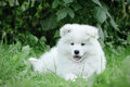 Llittle Samoyed  puppy portrait Stock Photos