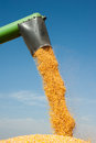 Loading of grain of corn Royalty Free Stock Photography