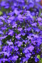 Lobelia Stock Photo