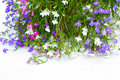 Lobelia flowers Royalty Free Stock Photo