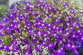 Lobelia flowers Royalty Free Stock Photo