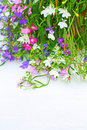 Lobelia flowers on white background Royalty Free Stock Photo