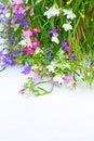 Lobelia flowers on white background Royalty Free Stock Photo