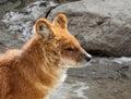 Lobo rojo Foto de archivo