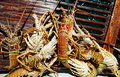 Lobster Catching In Cuba
