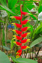 Lobster claw flower heliconia rostrata is an herbaceous perennial native to the north western region of south america Stock Photography