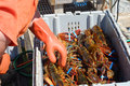 Lobster man sorting through fresh lobster catch a maine lobsterman sorts caught lobsters to remove the too small ones and to weigh Royalty Free Stock Image