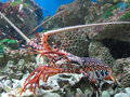 Lobster a in nha trang department of oceanography vietnam Stock Images