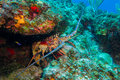 Lobster reef of chinchorro banks mexico Royalty Free Stock Photography