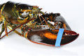 Lobster on white a background Royalty Free Stock Photo