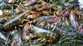 Lobsters and seaweed Stock Image