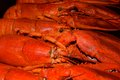 Lobsters a tray of maine lined up dinner feast highly prized seafood crustacean their habitats are in crevices or burrows on the Royalty Free Stock Photo