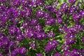 Lobularia maritima called sweet alyssum or sweet alison. Royalty Free Stock Photo