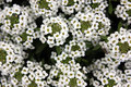 Lobularia maritima, Sweet alyssum Royalty Free Stock Photo